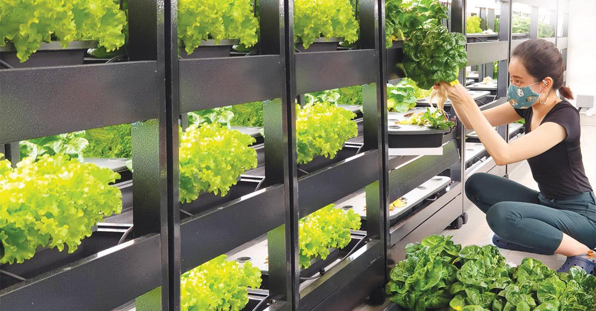 Student volunteer harvesting salad lettuce from indoor farm